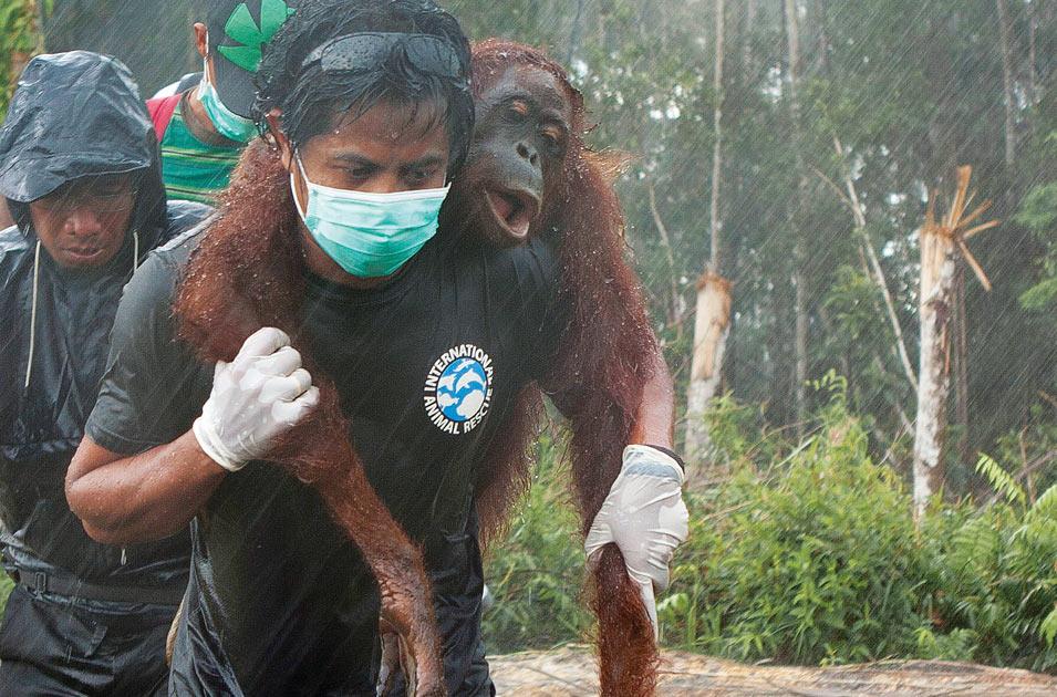 faire du bénévolat avec les orangs-outans