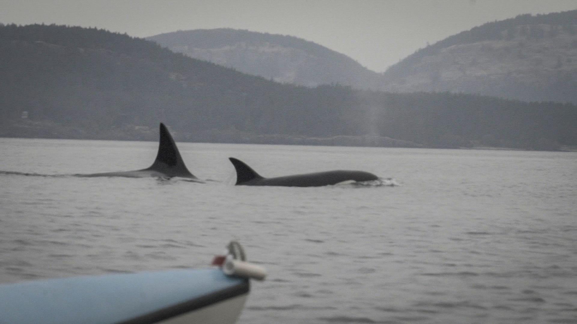 Où voir les orques au Canada