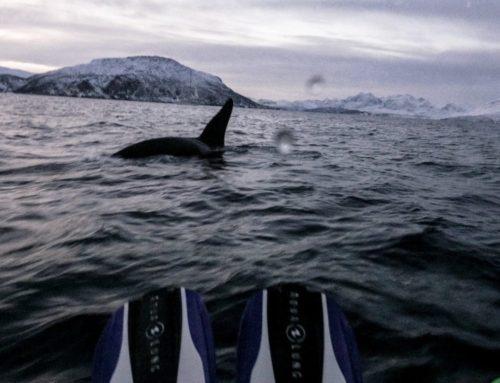 Nager avec les orques en Norvège