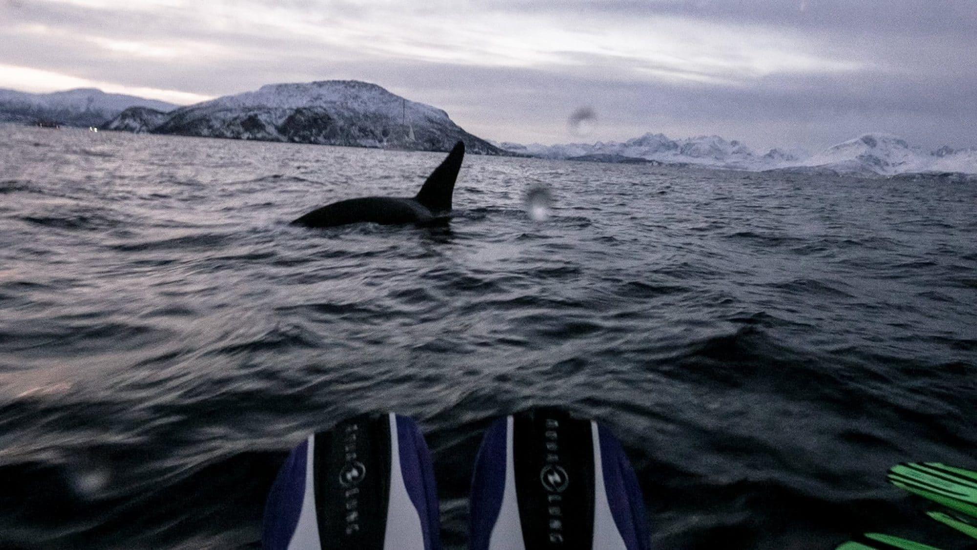 Nager avec les orques
